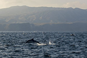 dolphins leap above surface of water, coastal hills in the background