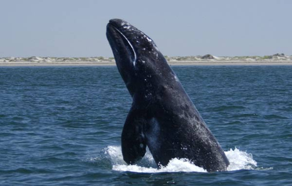 gray whale breaches in Baja