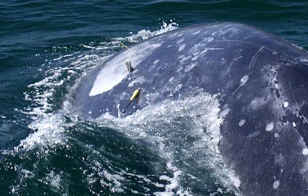 close-up of satellite tag on surfacing gray whale
