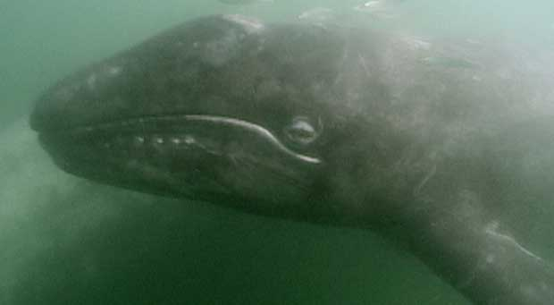 gray whale calf's head