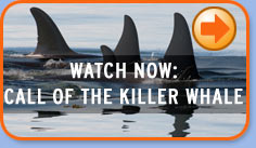 CALL OF THE KILLER WHALE