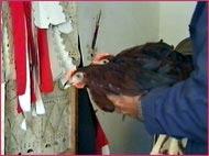 frango vivo para cerimônia fúnebre