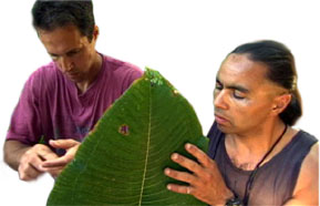 Greg Asner checks Miconia leaves
