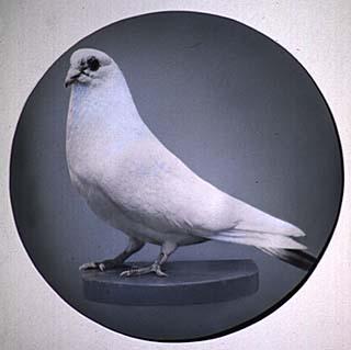 Tesla S White Pigeon