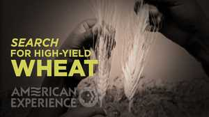 Search for high-yield Wheat poster image
