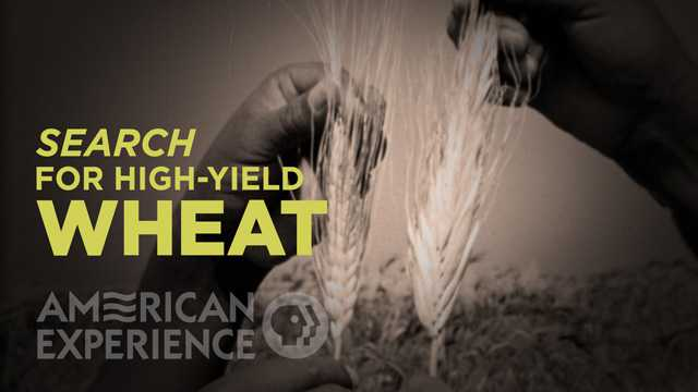 Search for high-yield Wheat