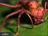 Image of a leafcutter ant.