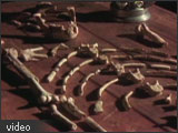 Image of Lucy's skeleton on a table in a labrotory.