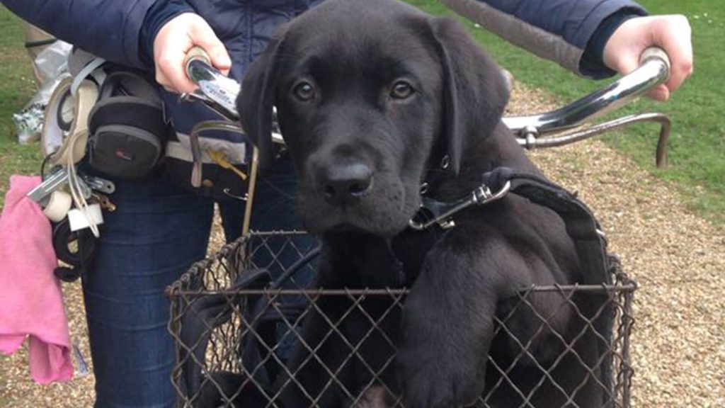 Black labrador named Dickens from the TV series, Grantchester.