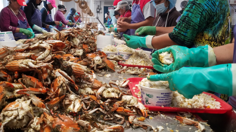 Limits on seasonal work visas hit Maryland's crab industry
