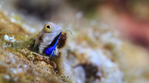 Can these tiny fish protect coral reefs against climate change?