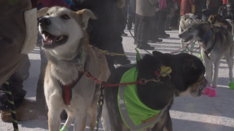 As temperatures rise, will Minnesota's dog sledding industry go extinct?