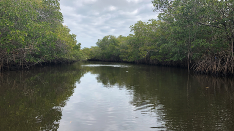 Climate change pushes Florida's mangroves north