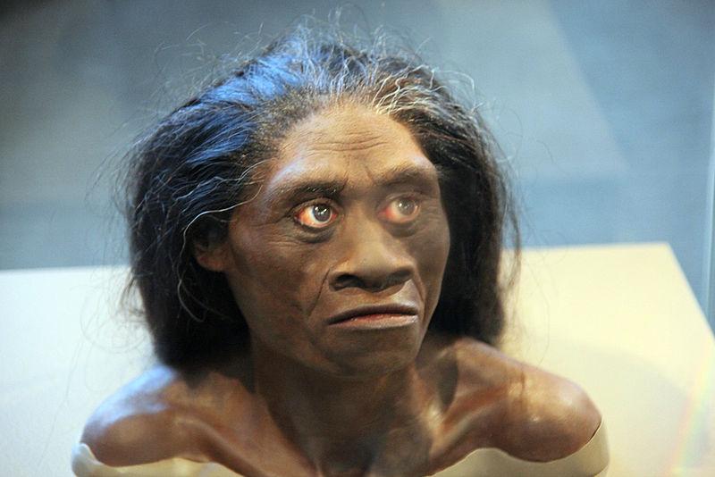 Homo floresiensis adult female - model of head