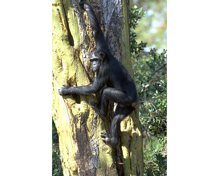 Chimpanzee in Nigeria
