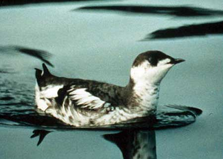 Marbled Murrelet in the United States