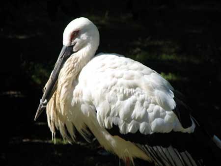 Oriental Stork in Russia