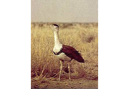 endangered birds of india essay