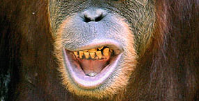 An orangutan has larger vocal tract air sacs