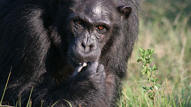 Spark Blog The Science Behind Why Chimps Are Not Pets The Human Spark Pbs