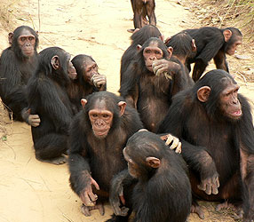 Are chimpanzees altruistic?