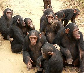 Are chimpanzees altruistic?