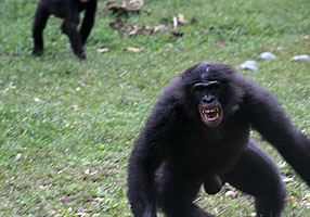 Adult chimps can be aggressive and their strength makes them dangerous.